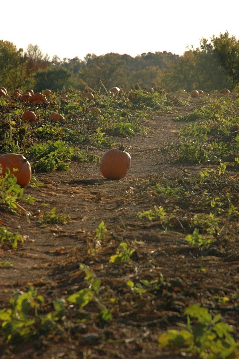 Pumpkin patch9
